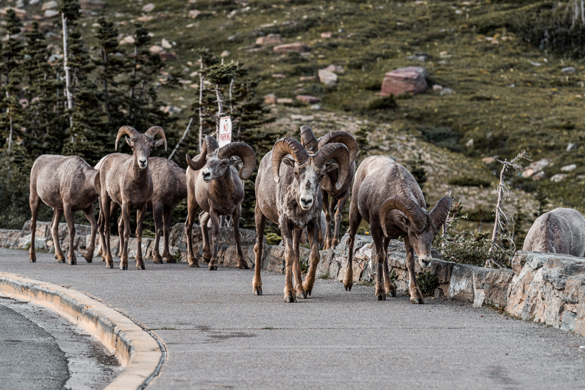 Bighorn Sheep roaming the parking lot of Logan Pass Visitors Center in Glacier National Park