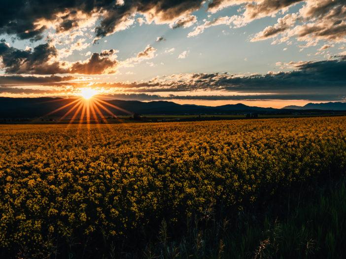 Kalispell Canola Field Sunset-27